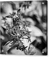 Busy Bee - Bw Acrylic Print