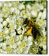 Busy Bee On A Rowan Flowers - Featured 3 Acrylic Print