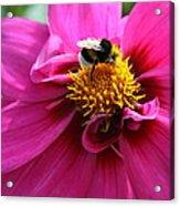 Busy Bumble Bee  Acrylic Print