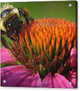Busy Bumble Bee Acrylic Print by Luke Moore