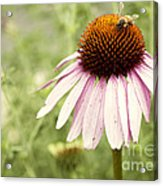 Busy Little Bee Acrylic Print