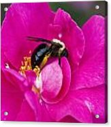 Busy Pink IIi Acrylic Print