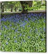Bute Park Bluebells Acrylic Print