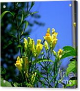 Butter And Egg Wildflower Acrylic Print