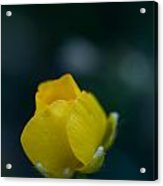 Butter Cup Flower Acrylic Print