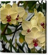 Buttercream Orchids Acrylic Print