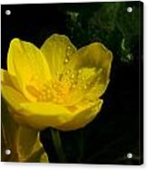 Buttercup And Dew Drops Acrylic Print
