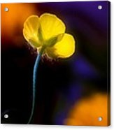 Buttercup Baby... Acrylic Print
