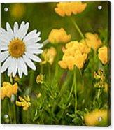 Buttercup Daisy Acrylic Print