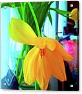 Buttercup Droop 2 Acrylic Print