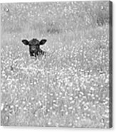 Buttercup In Black-and-white Acrylic Print by JD Grimes