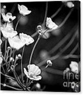 Buttercups Acrylic Print
