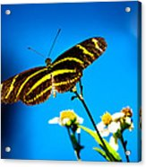 Butterflies And Blue Skies Acrylic Print