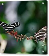 Butterflies On A Wire C Acrylic Print