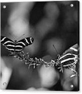 Butterflies On A Wire Acrylic Print