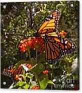 Butterflies Three Acrylic Print