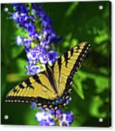 Butterflly Bush And The Swallowtail Acrylic Print