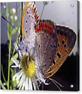 Butterfly 002 Acrylic Print