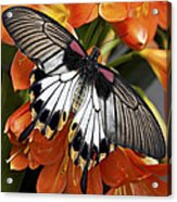 Butterfly 006 Acrylic Print