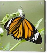 Butterfly 009 Acrylic Print