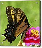 Butterfly 011 Acrylic Print