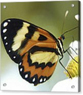 Butterfly 013 Acrylic Print