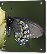 Butterfly 016 Acrylic Print