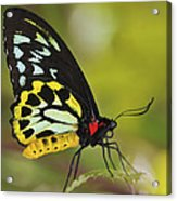 Butterfly 022 Acrylic Print