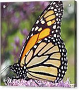 Butterfly 024 Acrylic Print
