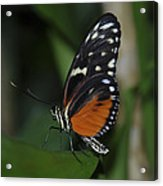 Butterfly 025 Acrylic Print