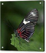 Butterfly 027 Acrylic Print