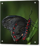 Butterfly 028 Acrylic Print