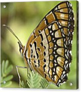 Butterfly 18 Acrylic Print