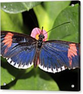 Key West Butterfly 3 Acrylic Print
