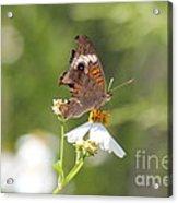 Butterfly  4 Acrylic Print