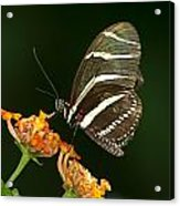Butterfly 50 Acrylic Print