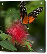 Butterfly 62 Acrylic Print