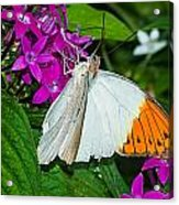 Butterfly 63 Acrylic Print
