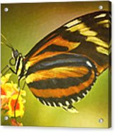 Butterfly 8 Acrylic Print