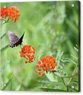 Butterfly A L'orange Acrylic Print