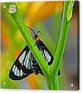 Butterfly An3597-13 Acrylic Print
