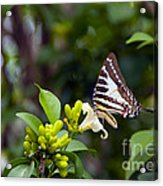 Butterfly And A White Flower Acrylic Print
