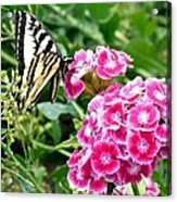 Butterfly And Sweet Williams Acrylic Print
