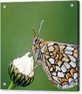 Butterfly And White Flower Acrylic Print