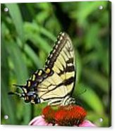 Butterfly Acrylic Print by Andrea Dale