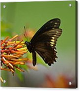 Butterfly Away Acrylic Print
