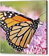 Butterfly Beauty-monarch II  Acrylic Print