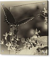 Butterfly Black 06 In Heirloom Finish Acrylic Print