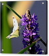 Butterfly - Cabbage White Acrylic Print