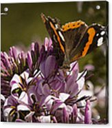 Butterfly Close Up Acrylic Print